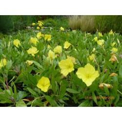 "Oenothera missouriensis ""Golden yellow"""