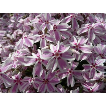"Phlox subulata ""Kimono Pink-White"" G-9"