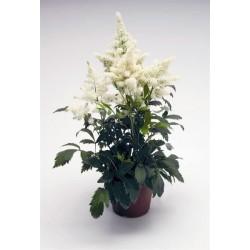 Seminte Astilbe arendsii Astary White