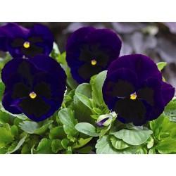 Viola witrockiana Goliath F1 Deep Blue Blotch G-9