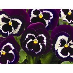 Viola witrockiana Goliath F1 Purple-White G-7