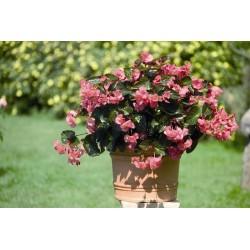 Seminte Begonia x hybrida Big F1 Rose Bronze leaf