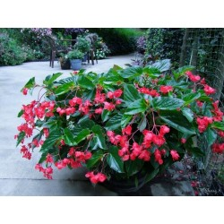 Seminte Begonia x hybrida Dragon Wing F1