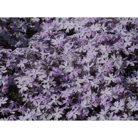 "Phlox subulata ""Emerald Cushion Blue"""