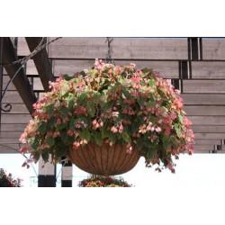 Seminte Begonia x hybrida Ikon F1 Green