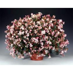 Seminte Begonia x hybrida Braveheart F1 Rose Bicolor