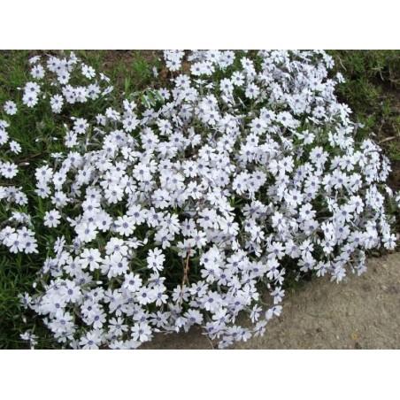 Phlox subulata Bavaria G-9