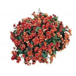 Seminte Begonia x elatior Charisma F1 Salmon