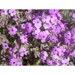 Phlox amoena variegata