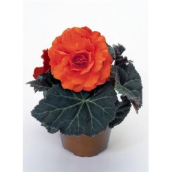 Seminte Begonia tuberhybrida Nonstop Mocca F1