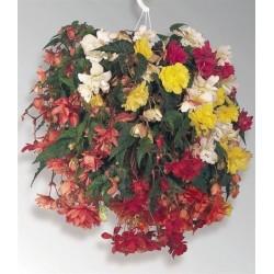 Seminte Begonia tuberhybrida Illumination F1