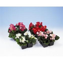 Seminte Begonia semperflorens Quick F1