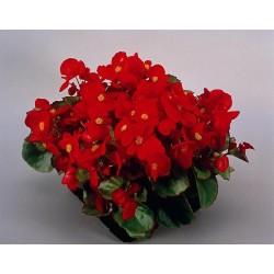 Seminte Begonia semperflorens Super Olympia F1