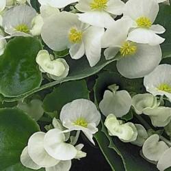Seminte Begonia semperflorens Quick F1 drj