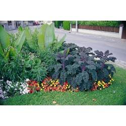 Seminte Brassica oleracea Redbor F1