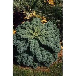Seminte Brassica oleracea Reflex F1