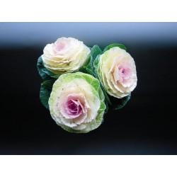 Seminte Brassica oleracea Crane F1
