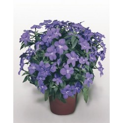 Seminte Browallia speciosa Bell Blue