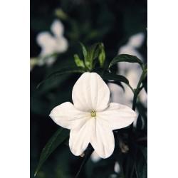 Seminte Browallia speciosa Bell Silver