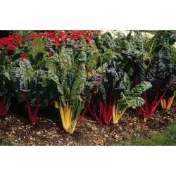 Seminte Beta vulgaris Bright Lights