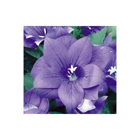 Platycodon grandiflora 'Astra F1 Blue Double'