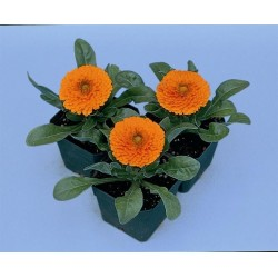 Seminte Calendula officinalis Calypso Orange w. Black Center