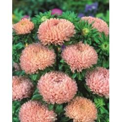 Seminte Callistephus chinensis Lady Coral