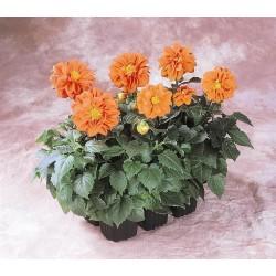 Seminte Dahlia variabilis Figaro Orange Shades