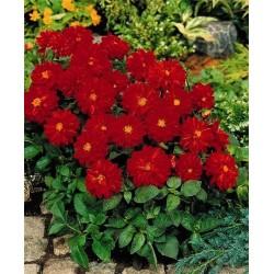 Seminte Dahlia variabilis Red Shades mix
