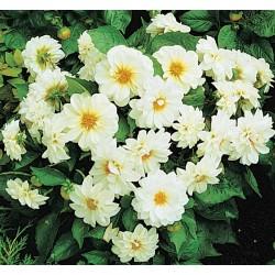 Seminte Dahlia variabilis Figaro White