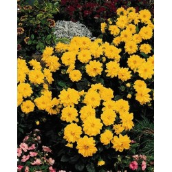 Seminte Dahlia variabilis Figaro Yellow Shades