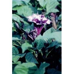 Seminte Datura metel Oeschberg Violet