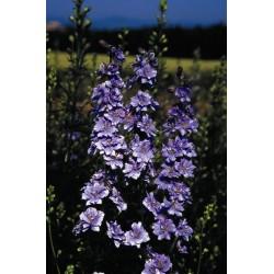 Seminte Delphinium ajacis Exquisite Blue Bell