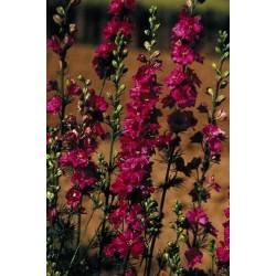 Seminte Delphinium ajacis Exquisite Carmine King