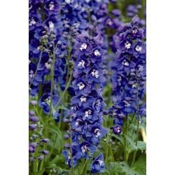Seminte Delphinium elatum Dasante F1 Blue
