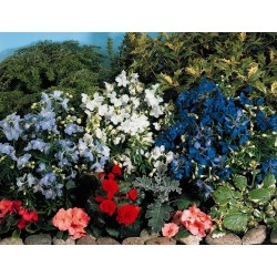 Seminte Delphinium grandiflorum Summer Colors mix