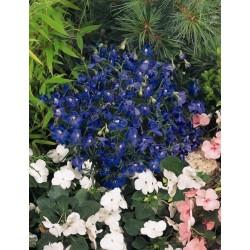 Seminte Delphinium grandiflorum Summer Nights