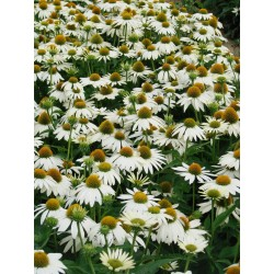 Seminte Echinaceea purpurea Feeling White