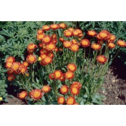 Seminte Erigeron aurantiacus Orange
