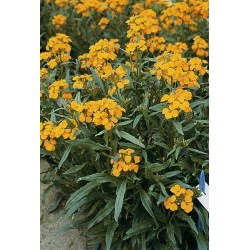 Seminte Erysimum allionii Orange Queen