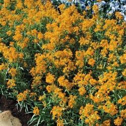 Seminte Erysimum hieracifolium Citrona Yellow