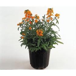 Seminte Erysimum hieracifolium Citrona Orange