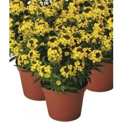 Seminte Erysimum allionii Canaries Yellow