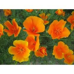 Seminte Eschscholzia californica Orange