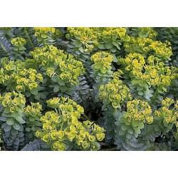 Seminte Euphorbia myrsinites