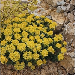 Seminte Euphorbia polychroma