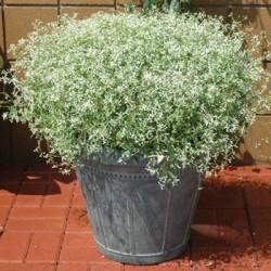 Seminte Euphorbia graminea Glitz F1