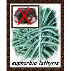 Seminte Euphorbia lathyris
