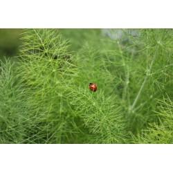 Seminte Foeniculum vulgare Dulce