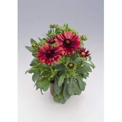 Seminte Gaillardia aristata Arizona Red Shades